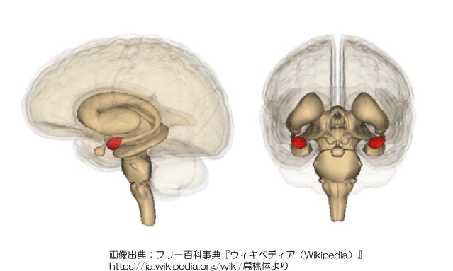 扁桃体の解説