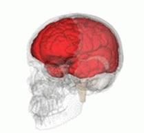 大脳の役割と部分