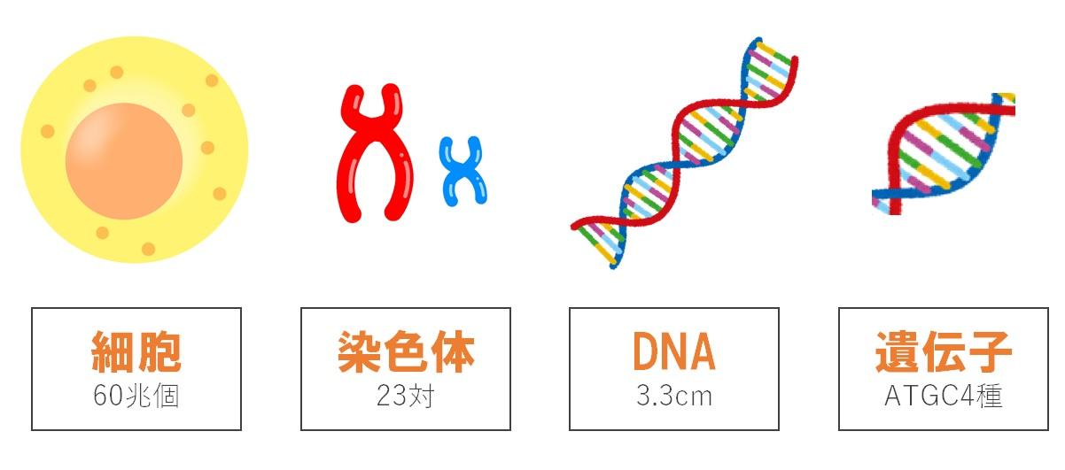 遺伝について解説